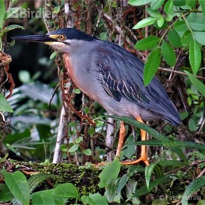 Birding Peruíbe.