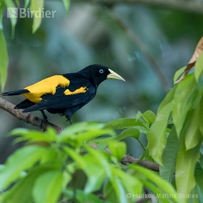 Aves de Manaus Am