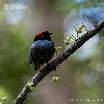 Aves alagoanas