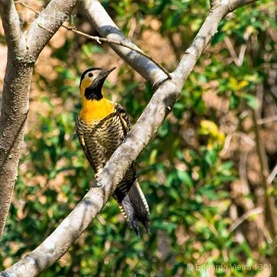 Aves paranaenses