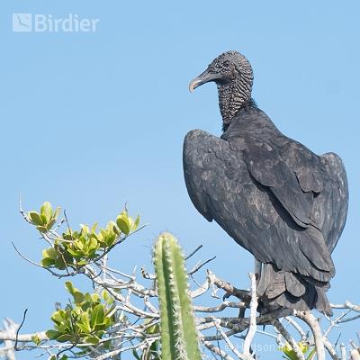 aves de Saquarema