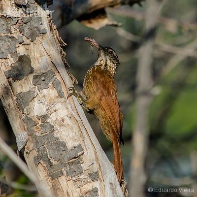 Aves de Maceió