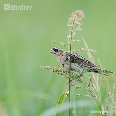 Aves de Tremenbé SP