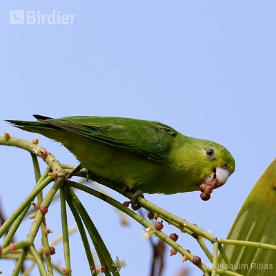 aves de Antonina,Morretes e Guaraqueçaba PR