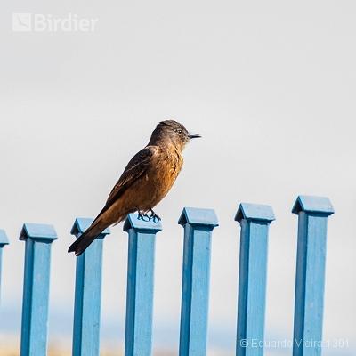 Aves mineiras