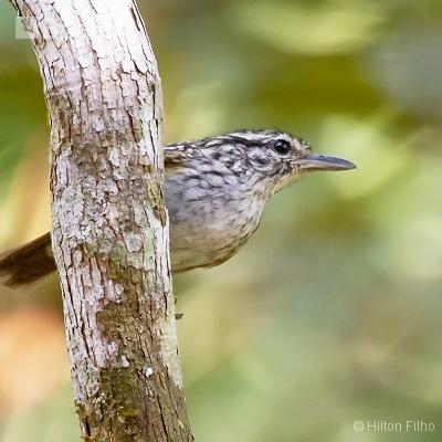 Aves do Amazonas