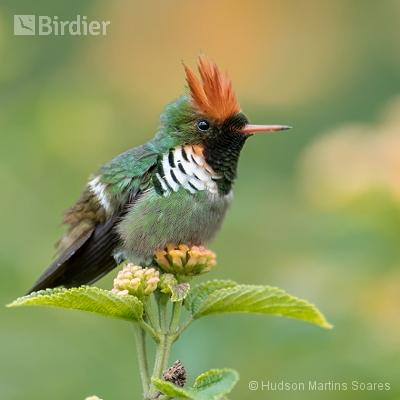 Aves de Cuiabá MT
