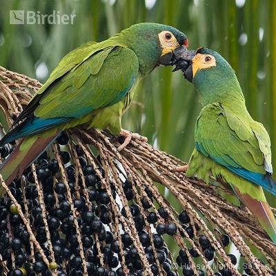 Aves de Areias SP