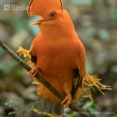 Aves de Presidente Figueiredo AM