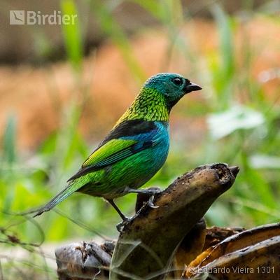 Aves Paulistas