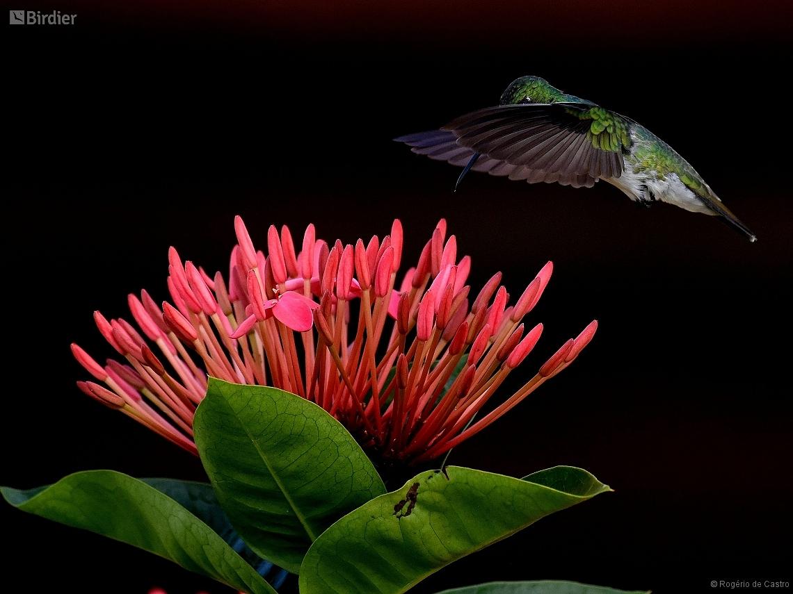 Amazilia leucogaster