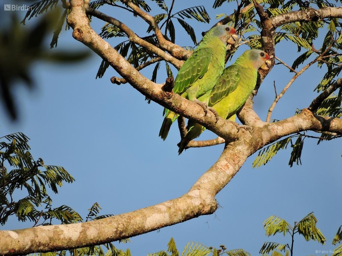 Amazona brasiliensis