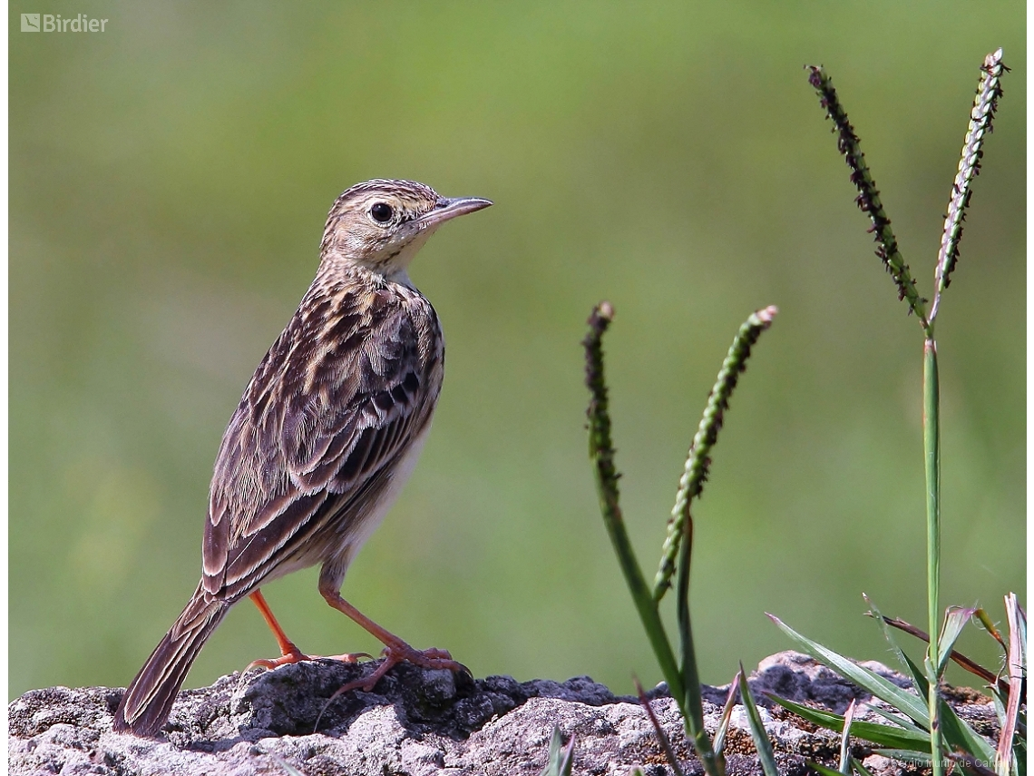 Anthus lutescens
