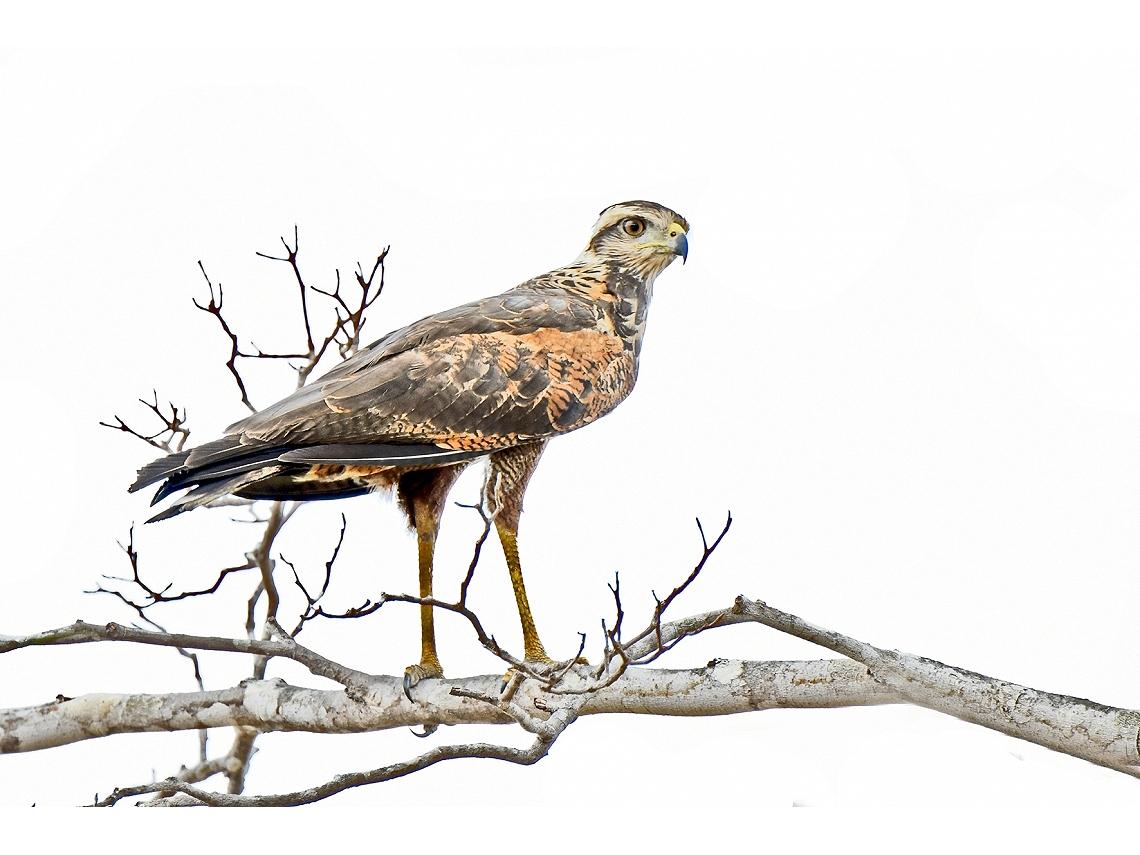 Buteogallus meridionalis