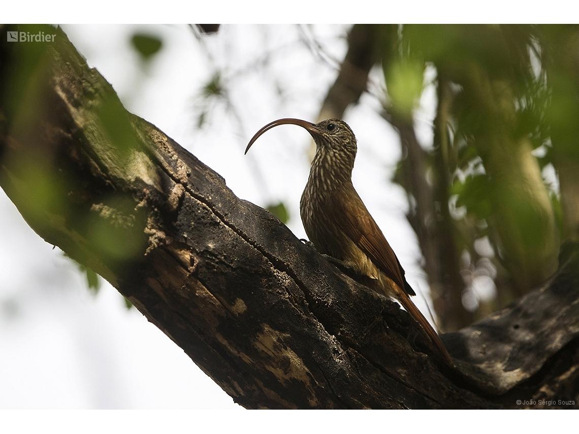 Campylorhamphus trochilirostris