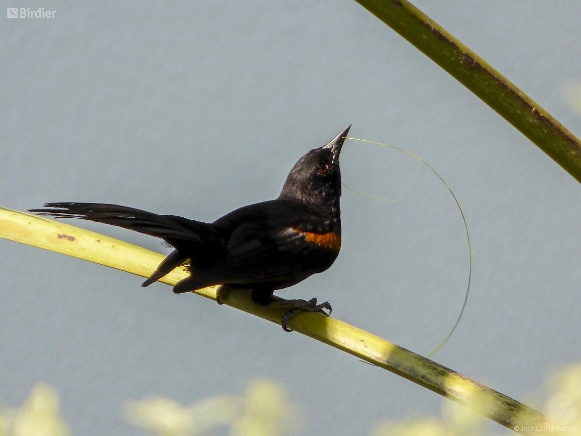 Icterus pyrrhopterus