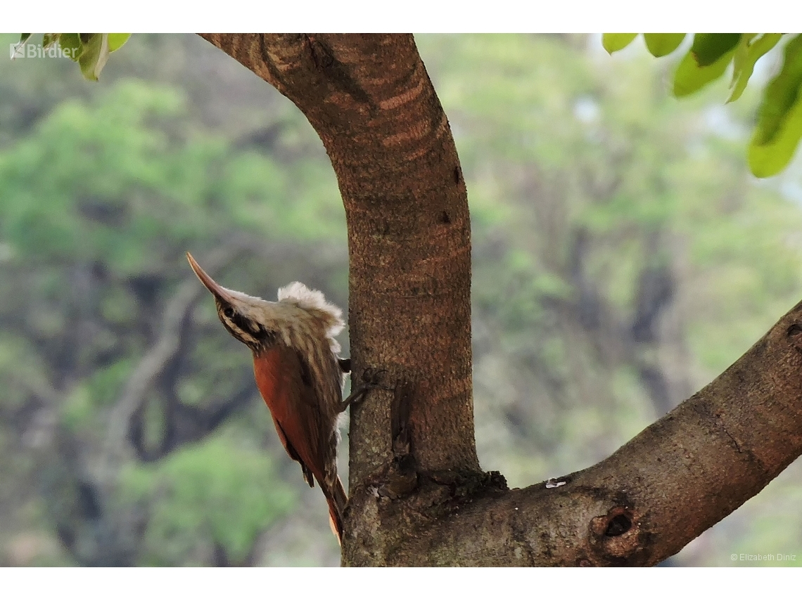 Lepidocolaptes angustirostris