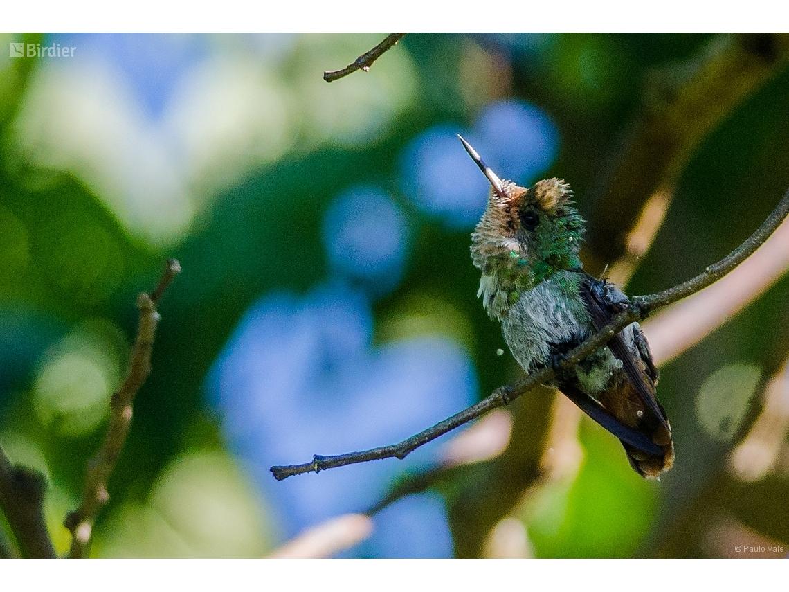 Lophornis magnificus