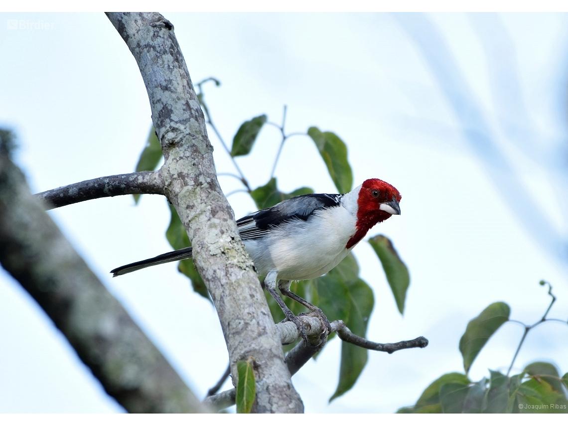 Paroaria dominicana