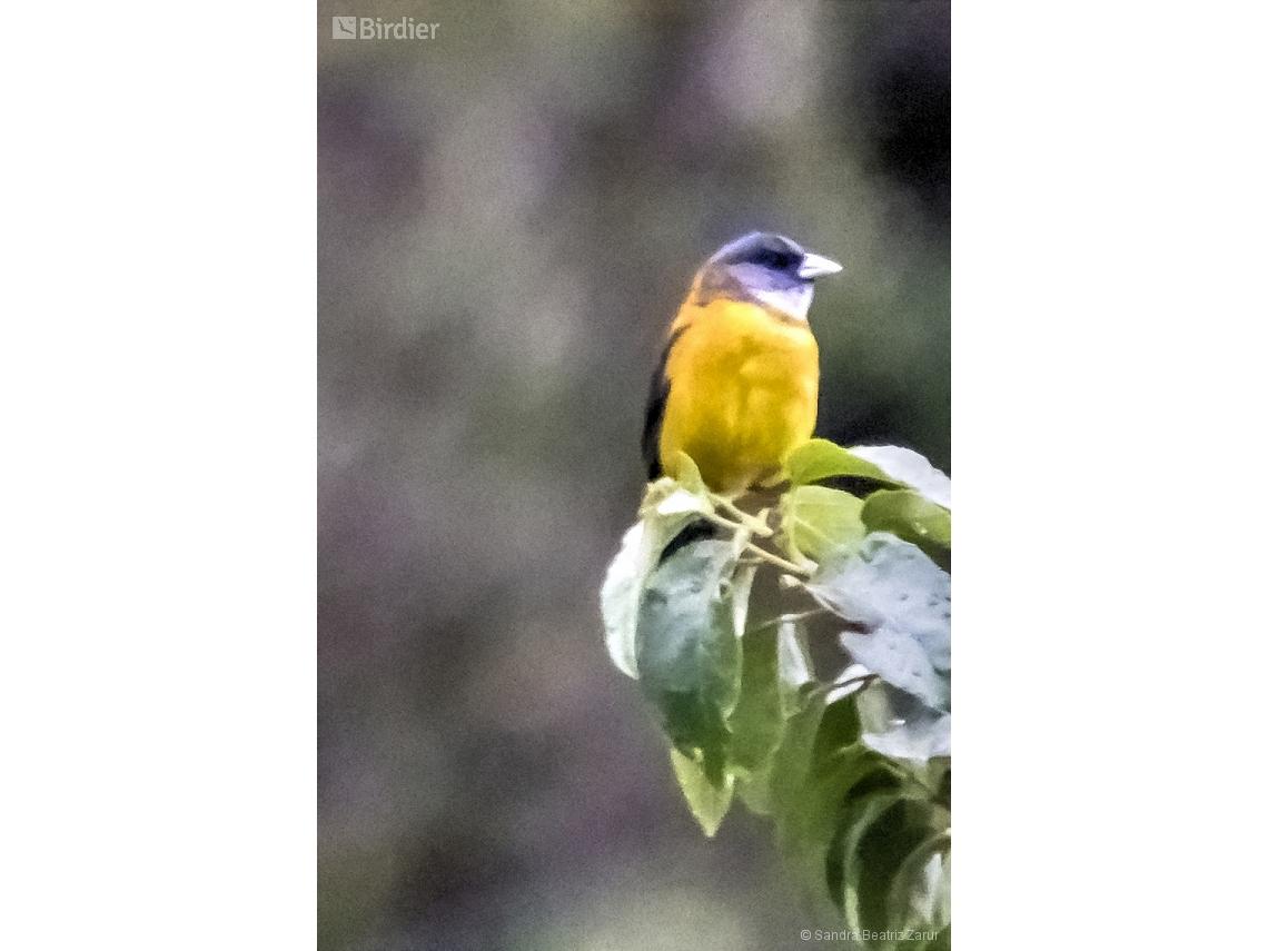 Phrygilus patagonicus
