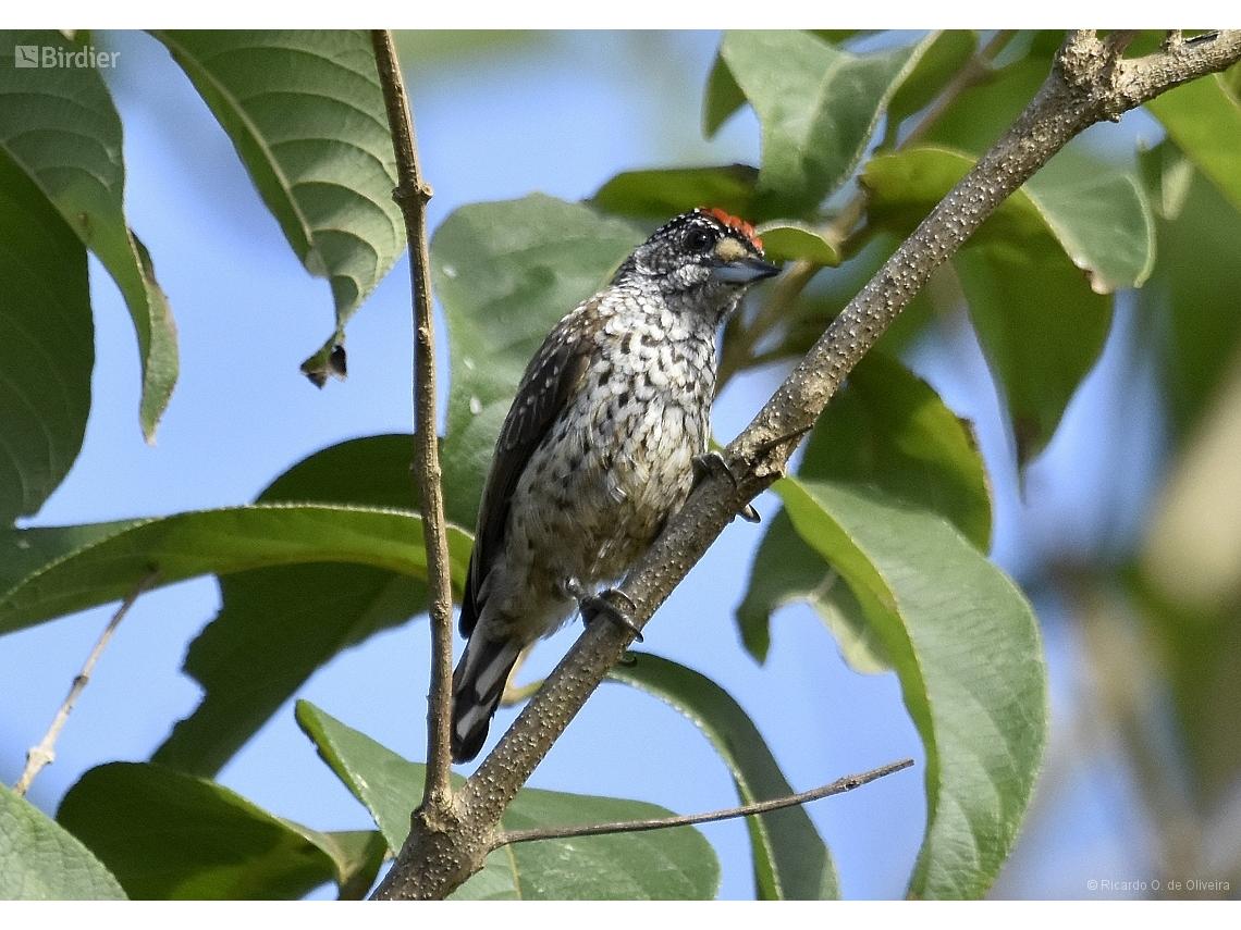 Picumnus albosquamatus