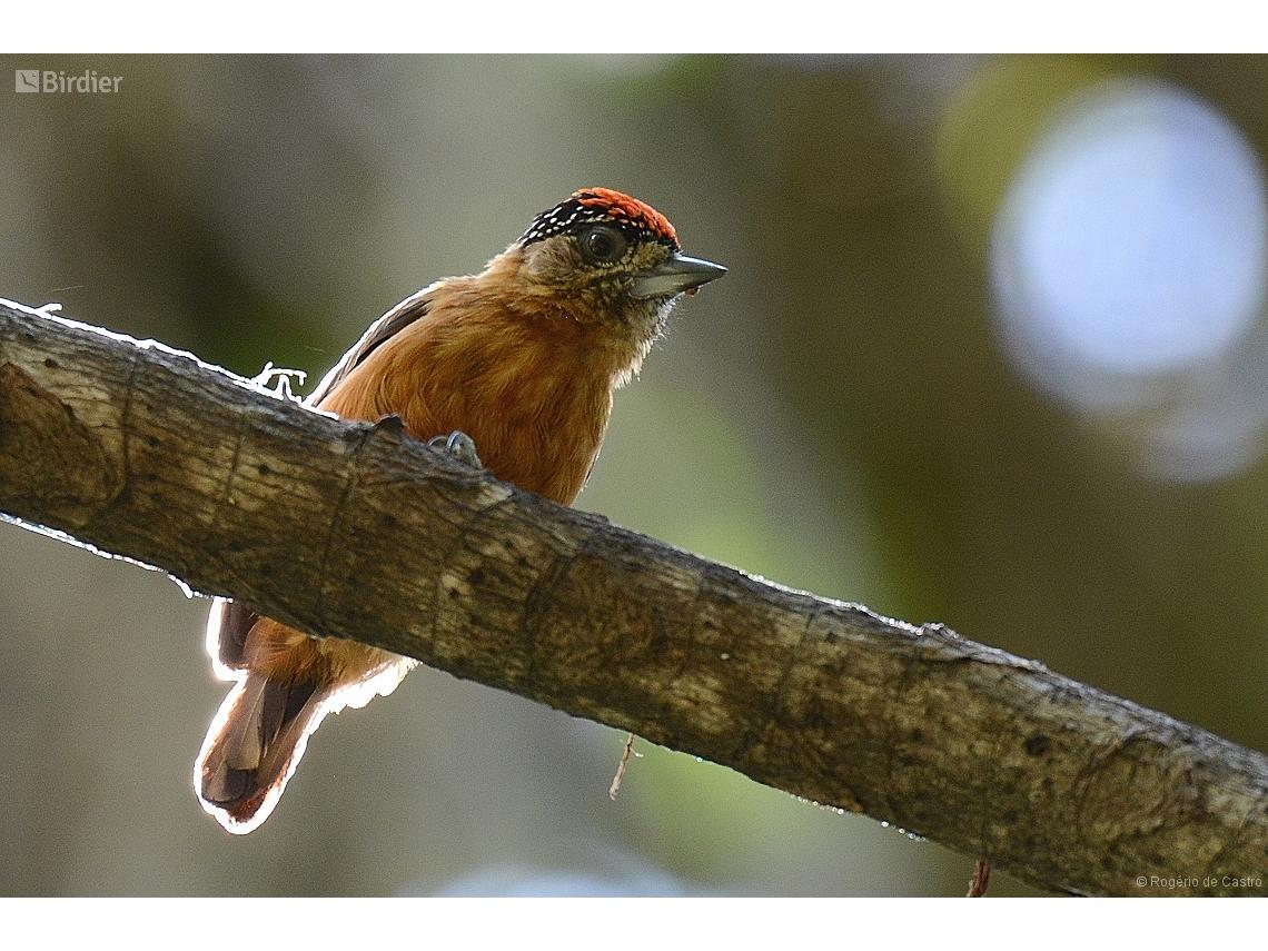 Picumnus fulvescens