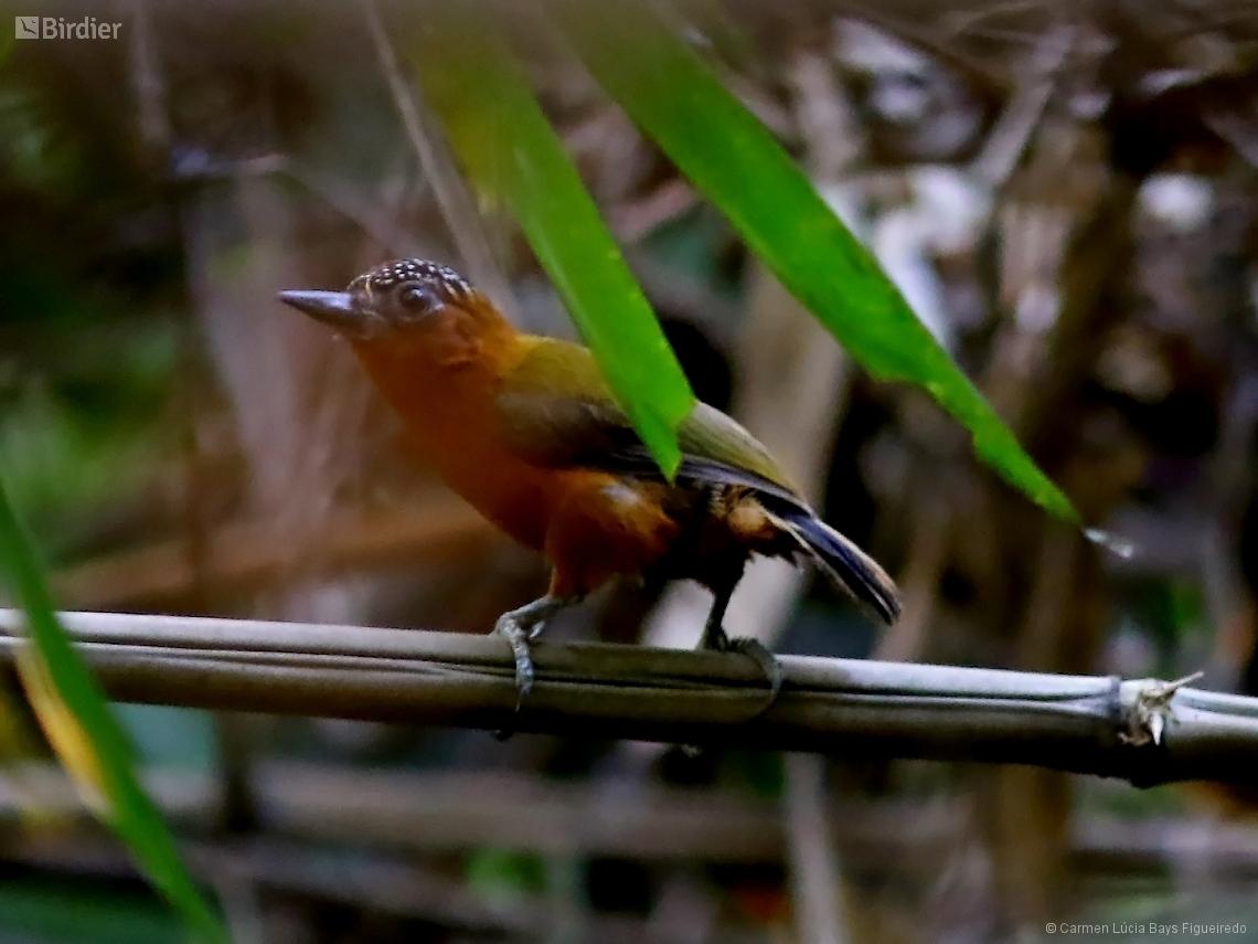 Picumnus rufiventris