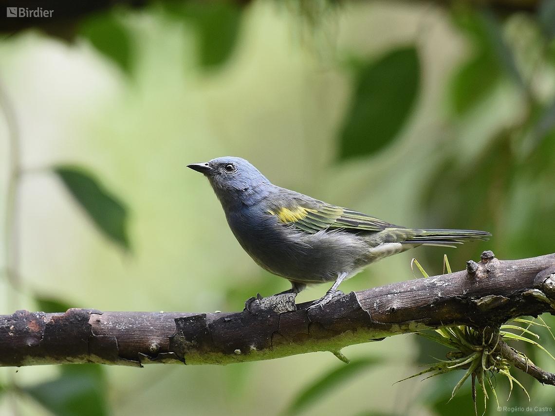 Thraupis ornata