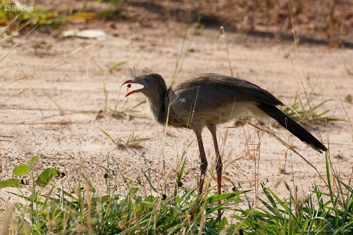 Acorizal Mato Grosso fonte: birdier.com