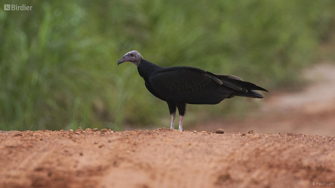 Denise Mato Grosso fonte: birdier.com