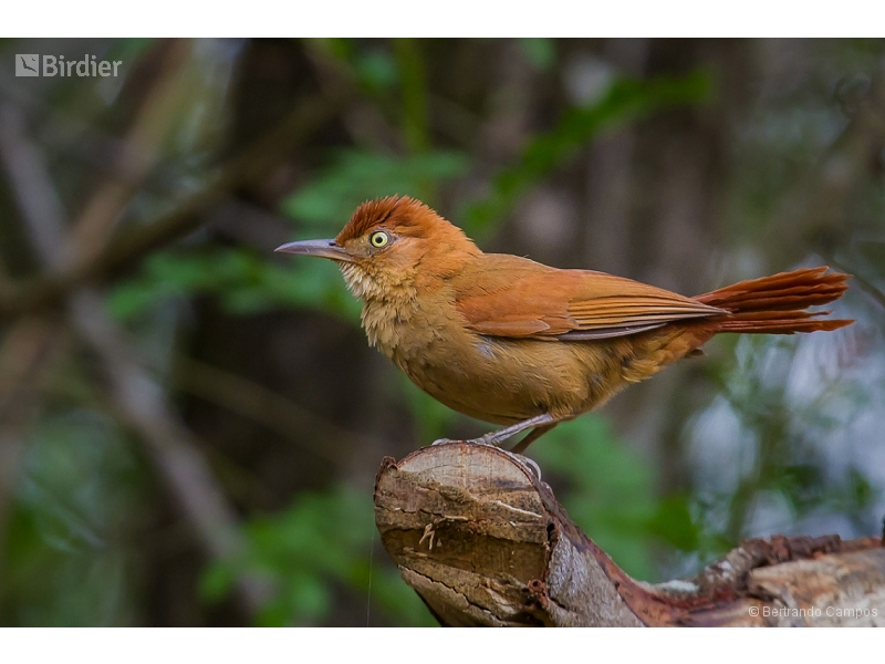 Chestnut-capped Foliage-gleaner
