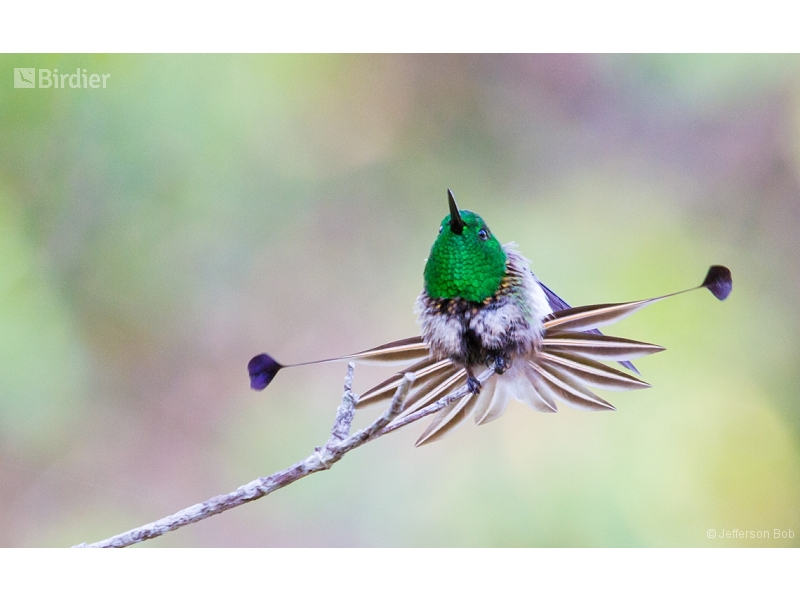 Racket-tipped Thorntail