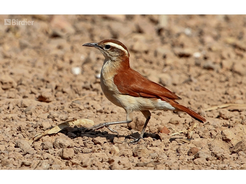 Wing-banded Hornero