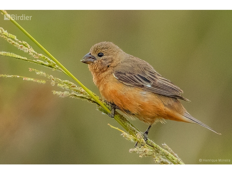 Tawny-bellied Seedeater