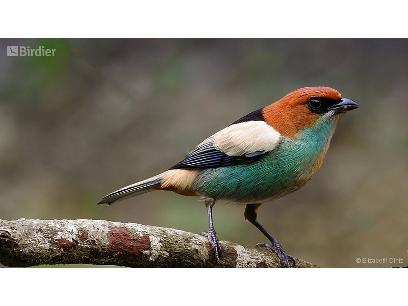Black-backed Tanager